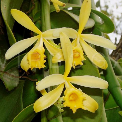 Vanilla Planifolia / foto: virboga.de