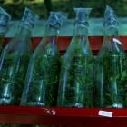 Anggrek Botolan Dendrobium - 40