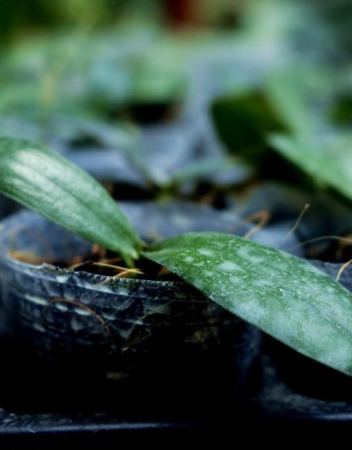 Seedling Anggrek Bulan-15