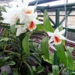 Dendrobium Dawnmaree