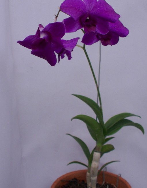dendro25rb (1)
