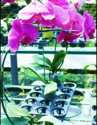 phalaenopsis-95rb