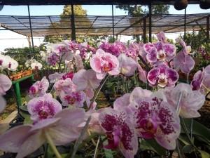 1b. wisata bunga - anggrek bulan 2