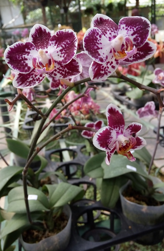 phalaenopsis-mini