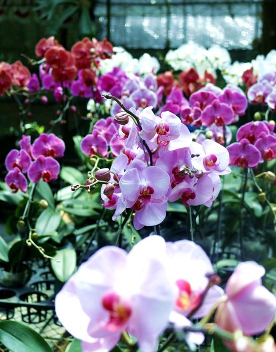 parade phalaenopsis