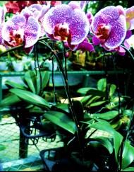 phalaenopsis--85rb