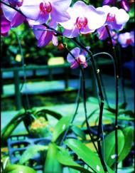 phalaenopsis110