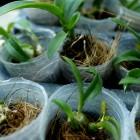 seedling Dendrobium-10