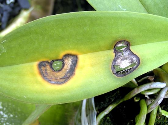 penyakit-tanaman-anggrek