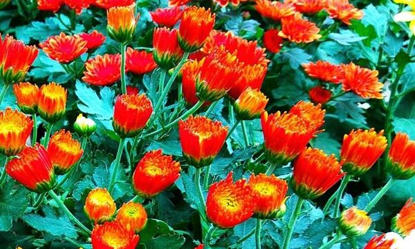 Bunga Krisan